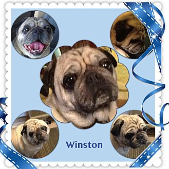 Pug Dog for adoption in Greensboro, Maryland - Winston