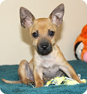 Chihuahua Puppy for adoption in Temecula, California - Kanga