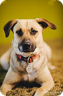 Anatolian Shepherd Mix Dog for adoption in Portland, Oregon - Dori