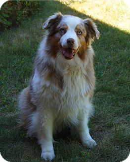 Australian Shepherd Dog for adoption in Elk River, Minnesota - Ruby
