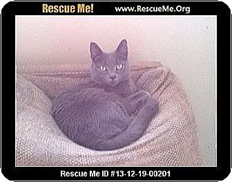 Russian Blue Cat for adoption in Madison, Tennessee - Thyme