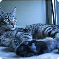 Domestic Shorthair Cat for adoption in Toluca Lake, California - Leo