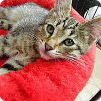 Adopt A Pet :: Pez - The Colony, TX