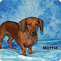 Adopt A Pet :: Mattie - Ft. Myers, FL