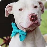 Adopt A Pet :: Chase - Las Vegas, NV
