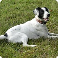 Pointer Dog for adoption in Morehead, Kentucky - Comet