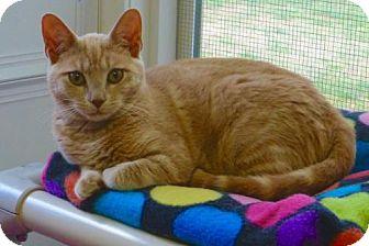 Domestic Shorthair Kitten for adoption in Waxhaw, North Carolina - Shiney