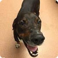 Hound (Unknown Type) Mix Dog for adoption in Columbus, Georgia - Hugo 1481