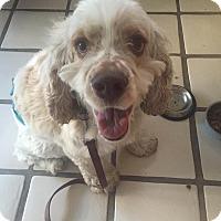 Adopt A Pet :: Cooper - Santa Barbara, CA