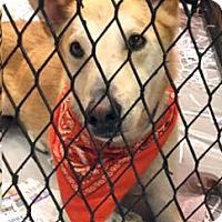 Adopt A Pet :: Max - Old Saybrook, CT