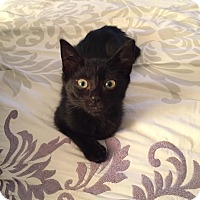 Domestic Shorthair Kitten for adoption in Los Angeles, California - Betsy Mae