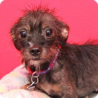 Cairn Terrier Mix Dog for adoption in Phoenix, Arizona - Amber