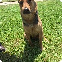Shepherd (Unknown Type) Mix Dog for adoption in Allen, Texas - Alyssa