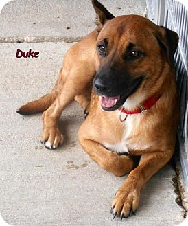 Shepherd (Unknown Type)/Boxer Mix Dog for adoption in Oskaloosa, Iowa - Duke