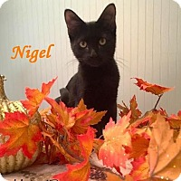 Adopt A Pet :: Nigel - Purr Machine! - Huntsville, ON