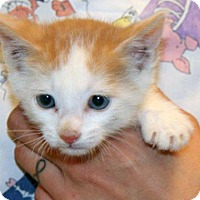 Domestic Shorthair Kitten for adoption in Wildomar, California - Prince