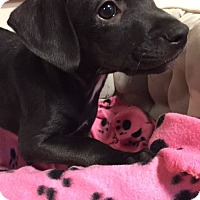 Adopt A Pet :: PUPPIES - Bernardston, MA