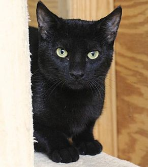 Domestic Shorthair Cat for adoption in Hammond, Louisiana - Pine