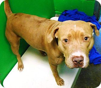 Pit Bull Terrier Mix Dog for adoption in Redding, California - Megan
