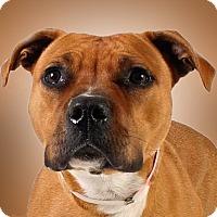 Boxer/Pit Bull Terrier Mix Dog for adoption in Prescott, Arizona - Guinevere