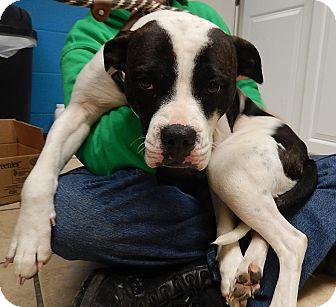 Pit Bull Terrier Mix Dog for adoption in Newport, North Carolina - Karma