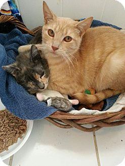 Calico Kitten for adoption in Cranford/Rartian, New Jersey - Gracie