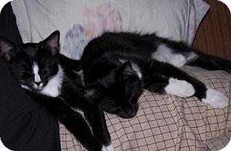 Domestic Mediumhair Cat for adoption in Harrisonburg, Virginia - Pascal & Mowgli