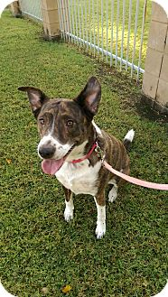 Australian Cattle Dog Mix Dog for adoption in Phoenix, Arizona - Grace