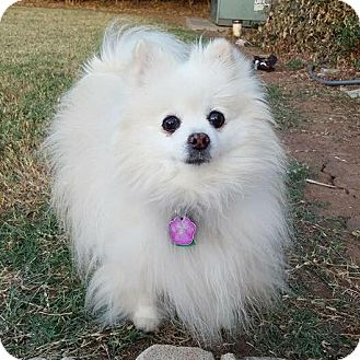 Pomeranian Dog for adoption in Edmond, Oklahoma - Lexi
