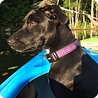 Adopt A Pet :: Dolly=LOVES SWIMMING/MEET HER - Woonsocket, RI