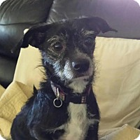 Terrier (Unknown Type, Small) Mix Dog for adoption in El Cajon, California - Marley