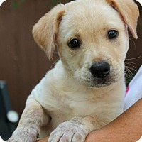 Adopt A Pet :: Angel - Mt. Prospect, IL