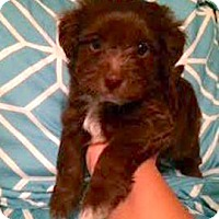 Adopt A Pet :: Snickers - Austin, TX