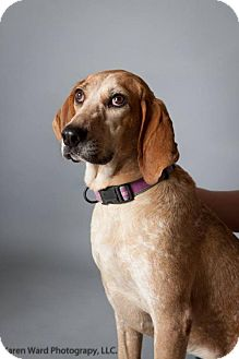 Coonhound Mix Dog for adoption in Williston, Vermont - Rose