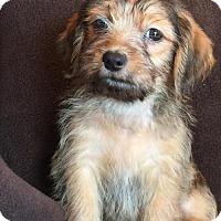 Adopt A Pet :: Cobweb - St. Louis Park, MN