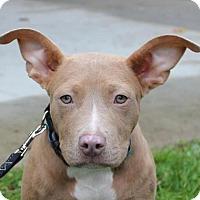 Adopt A Pet :: Adele - Massachusetts - Fulton, MO