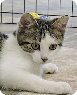 Domestic Shorthair Kitten for adoption in Massapequa, New York - Monica
