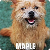 Adopt A Pet :: 'MAPLE' - Agoura Hills, CA