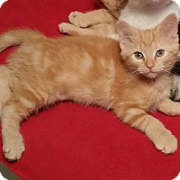 Adopt A Pet :: Maggie-Orange Mackerel - Taylor Mill, KY