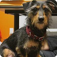 Adopt A Pet :: Symphony - Windsor, CA