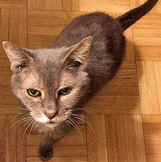 Domestic Shorthair Cat for adoption in Brooklyn, New York - Gorgeous Grandma Needs Forever Foster