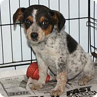 Adopt A Pet :: Buckwheat - Cattle Dog Mix - Philadelphia, PA