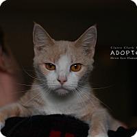 Adopt A Pet :: Beignet - Edwardsville, IL
