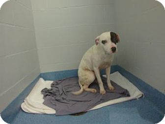 Pit Bull Terrier Mix Dog for adoption in Gainesville, Florida - Jilly
