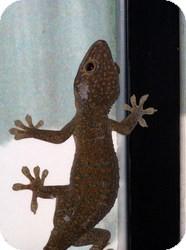 Lizard for adoption in Quilcene, Washington - 2 Tokey Geckos
