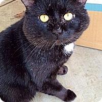 Adopt A Pet :: Shadow - Madison, AL