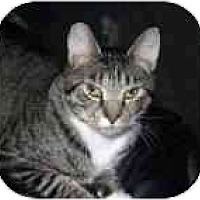 Adopt A Pet :: Kit Kat - Lake Ronkonkoma, NY