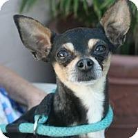 Adopt A Pet :: Cappy - Canoga Park, CA