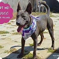 Adopt A Pet :: Lannee - Irving, TX