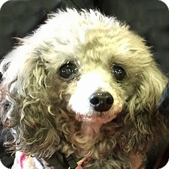 Toy Poodle Dog for adoption in Newington, Virginia - Trixie